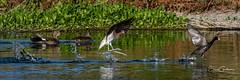 Too Close! (craig goettsch) Tags: americanavocet americancoot gadwall earedgrebe splash avian chase wildlife nature nikon d500