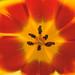 Tulip Warp