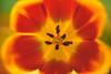 Tulip Warp (fs999) Tags: 1600iso fs999 fschneider aficionados zinzins pentaxist pentaxian pentax k1 pentaxk1 fullframe justpentax flickrlovers ashotadayorso topqualityimage topqualityimageonly artcafe pentaxart corel paintshop paintshoppro x9ultimate paintshopprox9ultimate masterphotos fleur flower blume bloem macrolife macro makro da 200mm f28 ed sdm