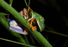 Red-eyed tree frog (anacm.silva) Tags: redeyedtreefrog frog rã wild wildlife nature natureza naturaleza sarapiqui rainforest selvaverde costarica