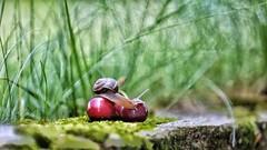 Snail (Luc1659) Tags: snail ciliegie lumaca cherries garden macro rosso