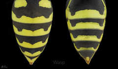 Wasp (Can Tunçer) Tags: can cantunçer cantuncer canon canon6d closer macro makro macros macrophotography micro mikro makros microscop microscope mitutoyo mitu5x mm tunçer turkey turkiye türkiye tuncer wasp stack stacking studio setup stand stuido black yellow abdomen