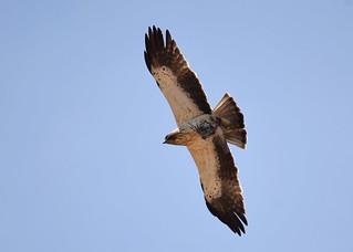 Águia-calçada / Booted Eagle