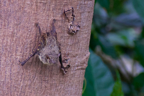 brazil-amazon-cristalino-lodge-leaf-bat-on-tree-copyright-thomas-power-pura-aventura