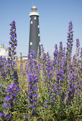 Dungeness old lighthouse 03 jun 17 (Shaun the grime lover) Tags: dungeness kent bugloss vipers flower lighthouse