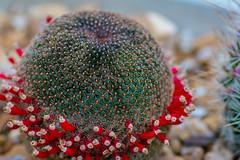 DSC_1321 (dylon_trahan) Tags: cactus plant desert flower red green macro bokeh sand suculent thorns spines sharp