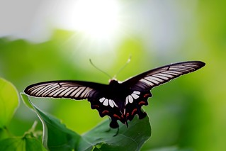 Butterfly rest on leaves with wings to face the sun