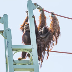 Orangutans taking the O-line (JLyn Nature Photography) Tags: nationalzoo fonz smithsonianinstitute adobe photoshop pscc canon 70d orangutan oline
