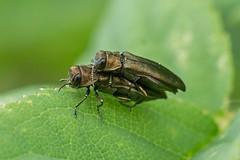 Kopula Prachtkäfer (planetvielfalt) Tags: agrilinae buprestidae coleoptera elateriformia polyphaga thüringen deutschland