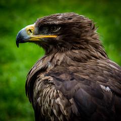 Berlebeck (mai.qu) Tags: vogel adler eagle berlebeck lippe teutoburger wald ostwestfalen germany geier greifvogel adlerwarte