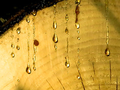 sweat on (SheffieldStar) Tags: bc britishcolumbia canada construction pacificnorthwest vancouverisland victoria localperspective mytown sap goo lumber cedar crosscut organic fresh treerings closeup pine sweetsmellingstuff golden imalumberjack drips