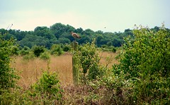 Curlew at Whixall Moss (ERIK THE CAT Struggling to keep up) Tags: landscapes birds shropshire whixallmoss curlew
