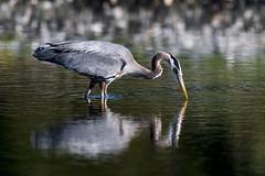 Heron Pond (Chatham Sound) Tags: