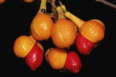 Mischocarpus pyriformis subsp. pyriformis (andreas lambrianides) Tags: mischocarpuspyriformissubsppyriformis sapindaceae mischocarpuspyriformis ratoniapyriformis yellowpearfruit pearfruitedtamarind australianflora australiannativeplants australianrainforests australianrainforestplants arfp qrfp nswrfp austrlianrainforestfruits australianrainforestseeds arffs orangearffs