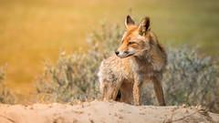 Morning sun ... (Alex Verweij) Tags: red fox redfox wild nature natuur alex verweij alexverweij sun zon morning ochtend predator jager hunting