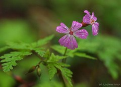 Droplets (ExeDave) Tags: p5120291 herbrobert geranium robertianum holne chase dart valley dartmoor devon sw england plant flora flower wildflower geraniaceae nature may 2017 water droplets rain woodland pink