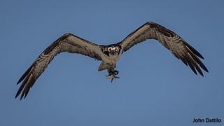 Osprey observation at Myrtle Beach South Carolina