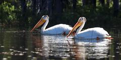 2017-06 Stephen Payne-68.jpg (Stephen_Payne) Tags: birds pelicans lakeofthewoods oregon othertags places lakes