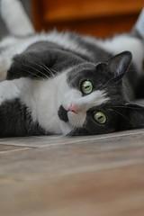 Ellie my cousins kitty (caroline_wburg) Tags: nikond3400 whiskers greeneyes cat