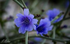 Flor de Achicoria  --  Explore  20/06/2017  &  216 (Francisco José Rubio) Tags: flor azul naturaleza andalucía spain