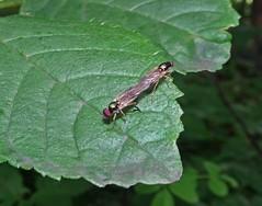 Ass To Ass (Bricheno) Tags: insects sex hoverfly macro renfrew bricheno scotland escocia schottland écosse scozia escòcia szkocja scoția 蘇格蘭 स्कॉटलैंड σκωτία
