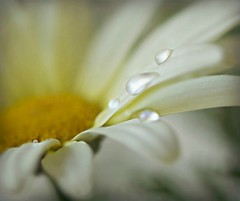 ~Dewy daisy droplets...~ (nushuz) Tags: daisy dew droplets macromondays dripsdropsandsplashes justhadkneesurgeryfriday shouldbeonmyfeetbynextweek hmm happymacromondays smalldaisy dof tornmeniscus