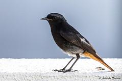 Black redstart (Phoenicurus ochruros) (JOAO DE BARROS) Tags: barros joão bird nature