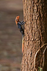 Red-headed rock agama (Agama agama) (supersky77) Tags: agama lizard reptile rettile murchisonfallsnationalpark murchison murchisonfalls uganda africa lucertola