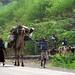Afar pastoralists moving settlement, Ethiopia