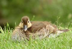 Mandarin duckling (PhotoLoonie) Tags: duckling mandarinduck mandarinduckling nature wildlife britishwildlife