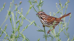 Song Sparrow (Melospiza melodia) (ER Post) Tags: bird songsparrowmelospizamelodia sparrow muskegon michigan unitedstates us
