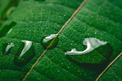 Drops (HMM: Drips, Drops, and Splashes) (Majime-SPN) Tags: drip drop splash macro mondays happymacromonday macromondays dripsdropsandsplashes water green leaf japan japanese spring nature natur naturephotography nikkor nikon nikondslr nikoncamera nikond5500 nikonlens micro microlens 40mmmicrolens nikkor40mmmicro nikkormicrolens 40mm closeup closeupshot upclose 自然 緑 雨 ニコン ニコンd5500 ニコンカメラ ニコンdslr マクロ kawasaki 日本 川崎