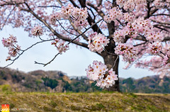 In the Spring Air (Nualchemist) Tags: sakura cherryblossom japan hamura tokyo travelphotography floral spring fullbloom seasonal delightful tree plant bluesky refreshing morninglight sunny palepink blue daylight branches springdelight japanese white pink bokeh warm light