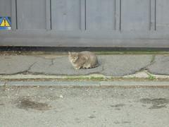 1158 (en-ri) Tags: gaatto randagio stray cat miao sony sonysti tigrato grigio