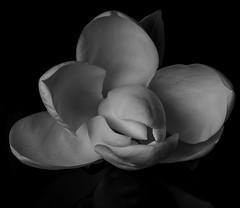 Magnolia Blossom - b&w (Bill Gracey 15 Million Views) Tags: magnolia blossom fleur flower flor perspex offcameraflash softbox softlight yongnuorf603n yn560 macrolens homestudio blackbackground noiretblanc blancoynegro silverefexpro shapes shadows sidelighting