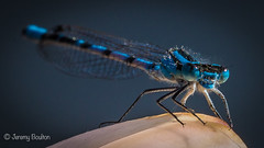 Damsel in Moustache (JKmedia) Tags: insect mating damsel fly flies wings water lake pond bodnantgardens wales northwales nationaltrust nature macro wildlife lily boultonphotography ef100mmf28lmacroisusm natural eyes blue moustache closeup azure hairy spiky shallowdof
