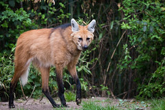 maned wolf (Cloudtail the Snow Leopard) Tags: mähnenwolf tier animal mammal hund wildhund dog maned wolf chrysocyon brachyurus zoo amneville