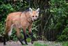 maned wolf (Cloudtail the Snow Leopard) Tags: mähnenwolf tier animal mammal hund wildhund dog maned wolf chrysocyon brachyurus zoo amneville
