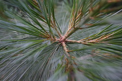 Intersect 1 (OdPhotoer) Tags: pine needles macro branch