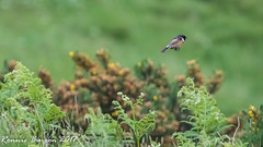 the one that's getting away! (RCB4J) Tags: ayrshire nature rcb4j ronniebarron scotland sigma150500mmf563dgoshsm sonyilca77m2 art falcon perigine photography raptor wildlife stonechat saxicolatorquata male humour twitching twitcher whins bird