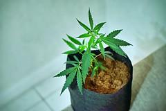 4/20 (erregx) Tags: cannabis blunt 420 mariajuana marihuana weed