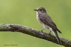 Papamosques gris, Papamoscas gris, Spotted Flycatcher (Muscicapa striata) (Carles Pibernat) Tags: