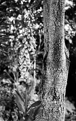 kiev2021 (salparadise666) Tags: kiev iia jupiter 8 f250mm fuji neopan acros 100400 caffenol cl semistand 32min nils volkmer vintage camera 35mm kb russian contax nature detail bw black white monochrome vertical foxglove fingerhut hannover niedersachsen germany 50mm lens