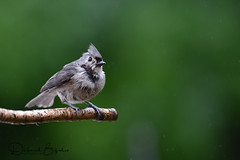 Are they EVER going to leave home? (dbifulco) Tags: tuti adult nature newjersey tuftedtitmouse wildlife yard