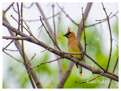 Yellow-Cardinal (fadelemad324) Tags: animals bird beauty beautiful branches branch camera colors d7000 dslr digital nikon nature nik nikond7000 n