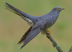 Cuckoo ( Cuculus canorus ) Male (Dale Ayres) Tags: cuckoo cuculus canorus male bird nature wildlife