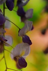 20170501_Jardins_secrets_Vaulx_Fl (1 sur 35) (calace74) Tags: 2017 rhonealpes fleurs france hautesavoie jardinssecrets macro vaulx