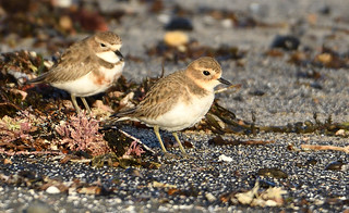 Double-banded Plover - pair