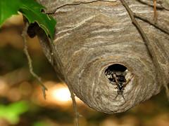 Bald-faced Hornet Nest (treegrow) Tags: washingtondc rockcreekpark lifeonearth nature canonpowershotsx60hs raynoxdcr250 arthropoda insect hymenoptera taxonomy:binomial=dolichovespulamaculata dolichovespulamaculata vespidae