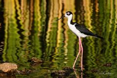 Red Eye (craig goettsch) Tags: blackneckedstilt hendersonbirdviewingpreserve2017 avian wildlife nature pond reflection green red eye nikon d500 600 tc14x